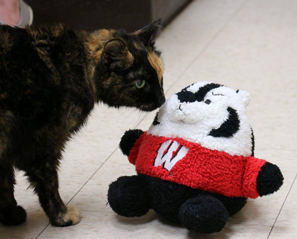 Cat and Stuffed Bucky Badger